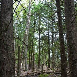 Large Cedars on Summer Island Property